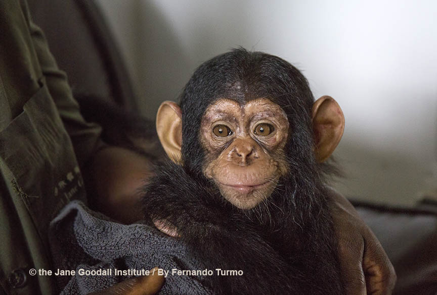 Meet Tchimpounga Sanctuary's New Baby Chimp: Vienna