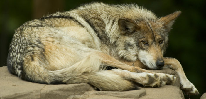 Mexican_wolf_lounging