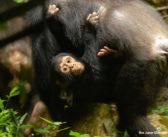 Chimps Postpone Parenthood, Eat Monkeys & Catch Lethal Colds