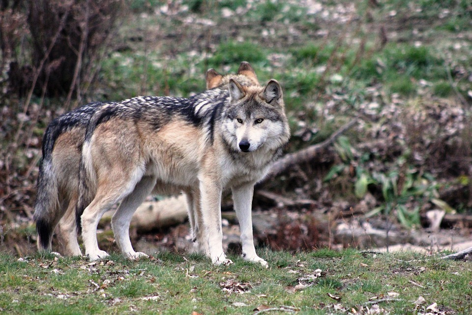 wolf-2792285_960_720