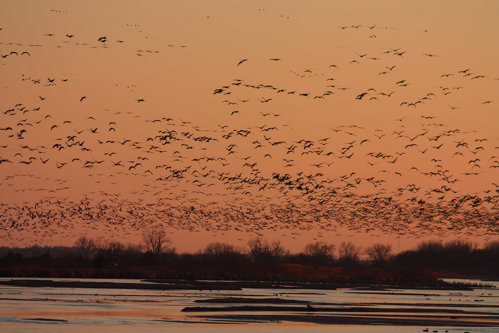 Sandhill cranes on the central Platte river in Nebraska. Credit: USFWS