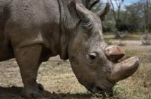 Sudan, the world's last male northern white rhino, grazes at the Ol Pejeta Conservancy in Laikipia county in Kenya on May 3, 2017. PHOTOGRAPH BY AP
