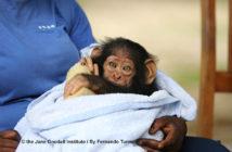 JGI Adoptive mother Cristel with new arrival Kabi at the JGI Tchimpounga Chimpanzee Rehabilitation Center