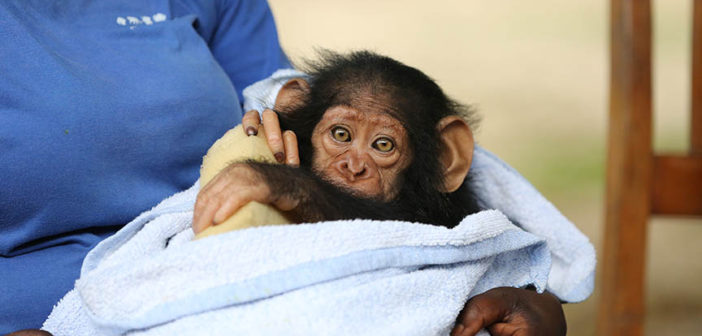 JGI Adoptive mother Cristel with new arrival Kabi at the JGI Tchimpounga Chimpanzee Rehabilitation Center