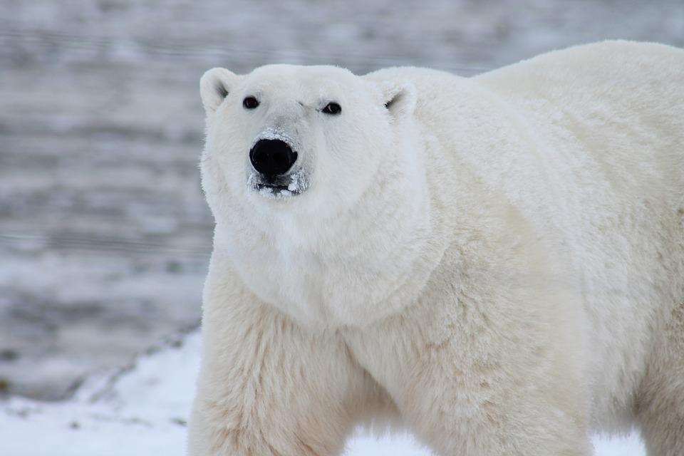 polar-bear-404314_960_720