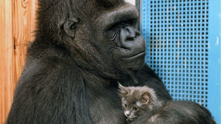 Dr Goodall Remembers Koko The Beloved Gorilla
