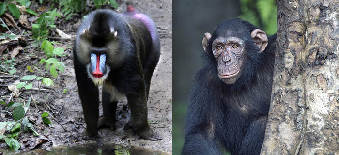 Chimps, Humans and Monkeys: What's the Difference?