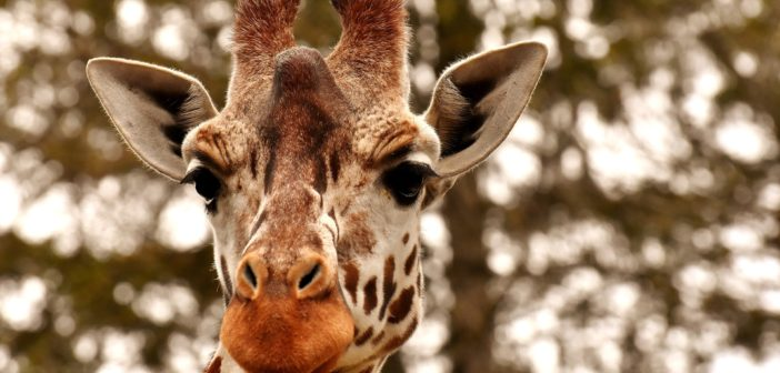 giraffe-3344366_1920 (1)