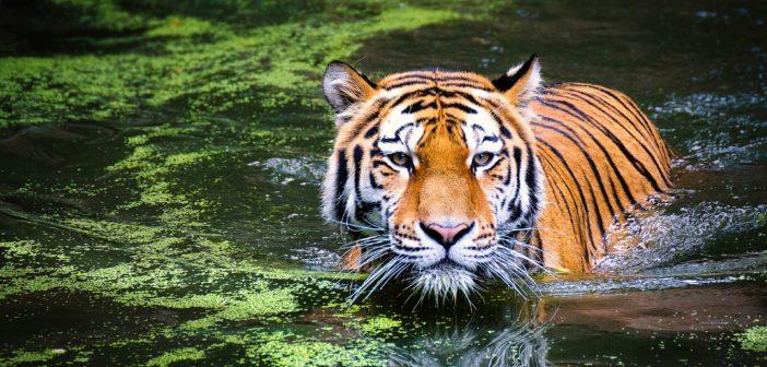 tiger-2535888_1920