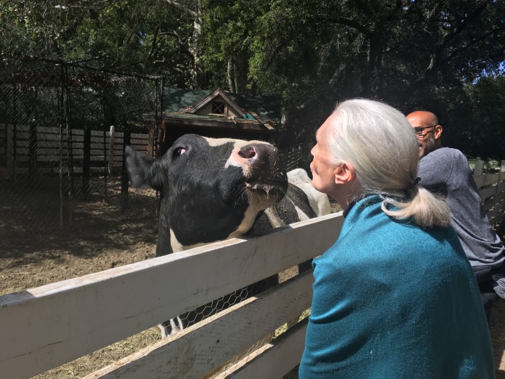 Greeting a cow