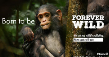 forever wild graphic 1 chimpanzee