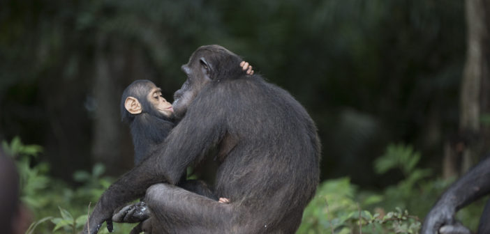 World Chimpanzee Day Celebrates Our Closest Living Relatives