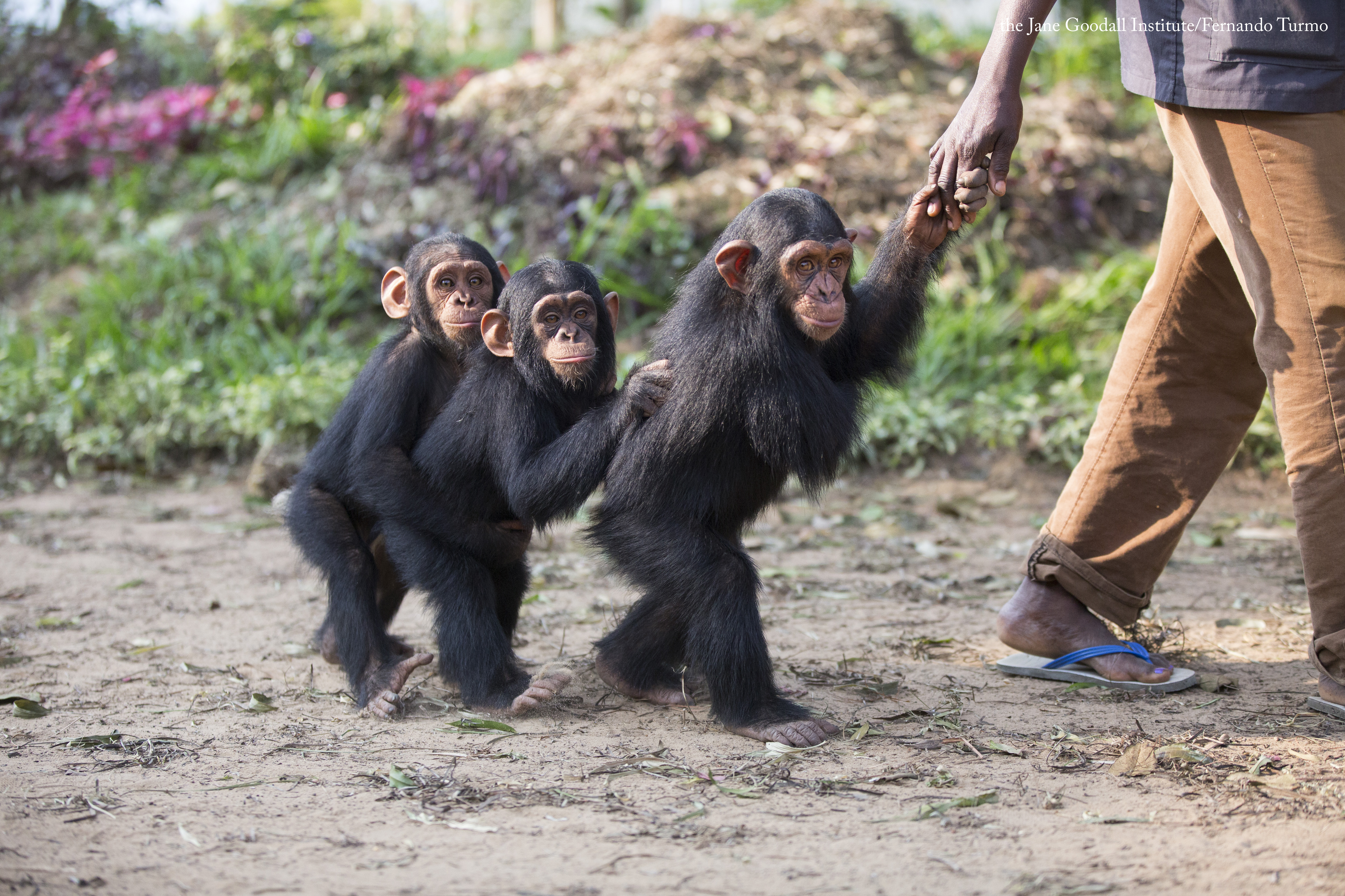 Kabi, Vienna and George. They are the youngest chimpanzees at Tchimpounga sanctuary. Always watched for JGI caregiver Antonette.