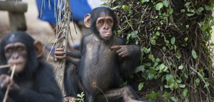 Top Five Cutest Chimp Moments from Tchimpounga