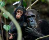 Inappropriate Videos on Social Media Are Hurting Chimpanzees