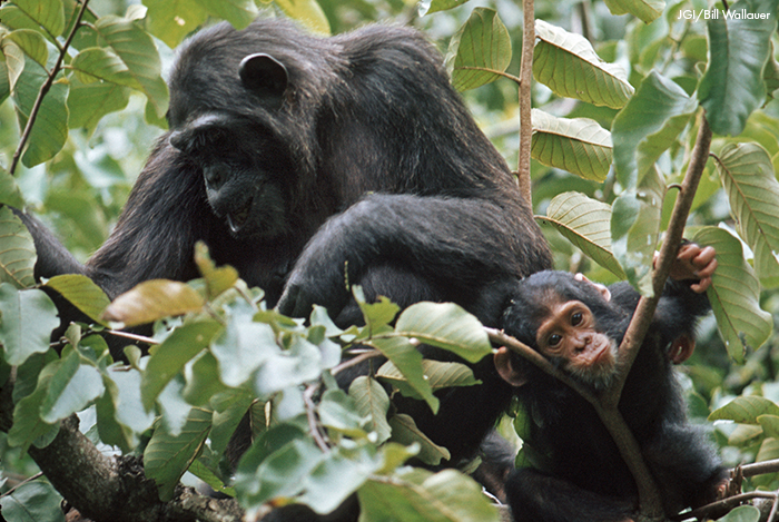 Suggested alternative photo for photos missing from My Life with the Chimpanzees book by Jane Goodall