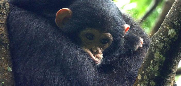 New Online Course on Chimpanzee Behavior & Conservation
