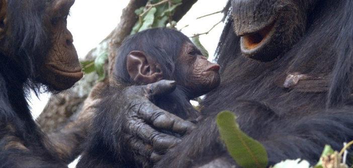 Protected: GOODALI:  Gombe's Brand New Baby Boy!