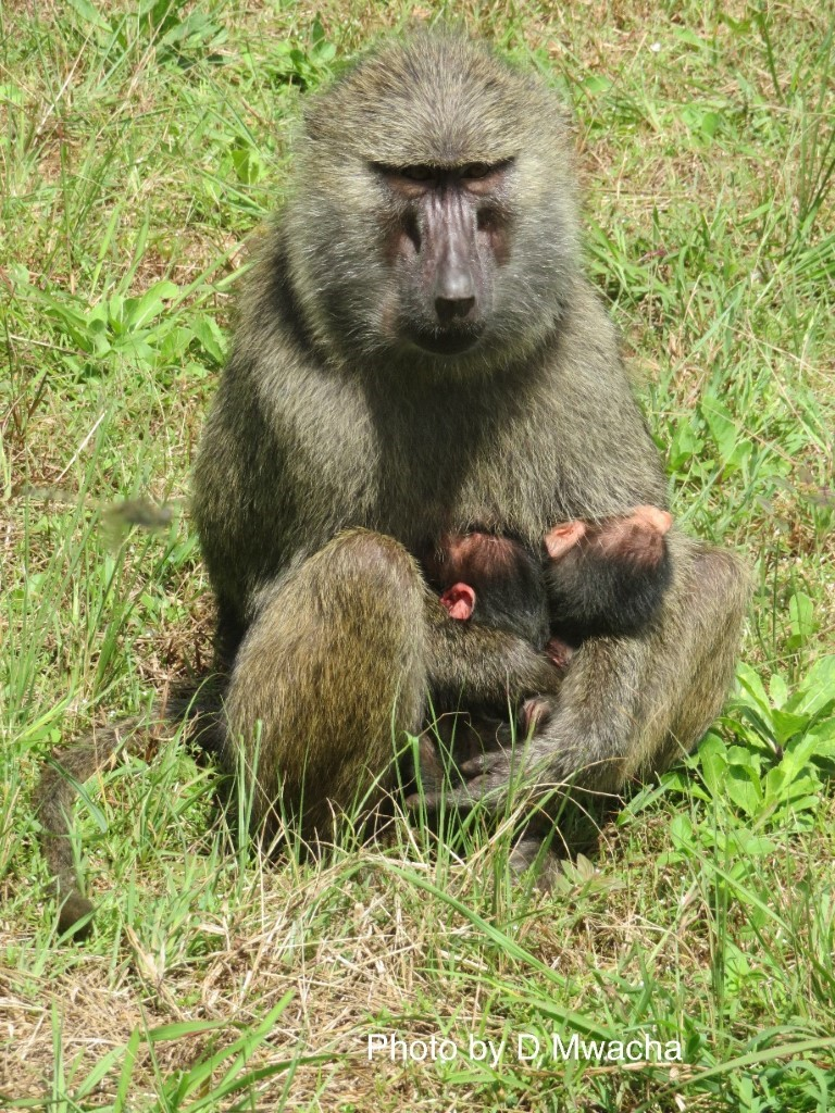 Protected: Double the Fun: Baboon Twins Born in Gombe