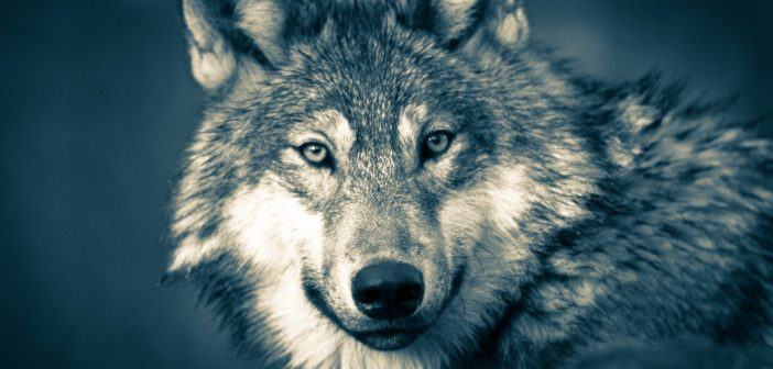 Dr. Jane Goodall Decries Delisting of Grey Wolves from ESA