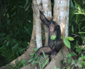 Study on Chimpanzee Heart Health Demonstrates the Benefits of Sanctuaries