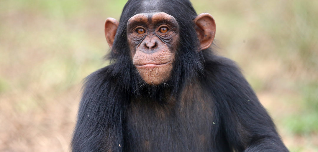 Chimpanzee animal