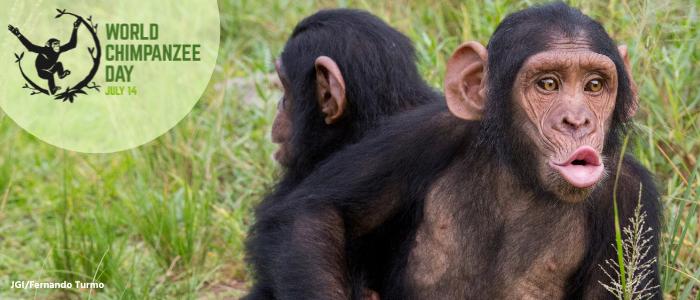 Give a Pant-Hoot: World Chimpanzee Day 2021